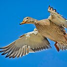 Mallard overhead by Daniel  Parent