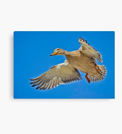 Mallard overhead Canvas Print