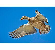 Mallard overhead Photographic Print