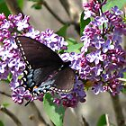 Feasting on Lilacs by Kenny M. Davis