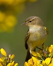 Male Willow Warbler by Neil Bygrave (NATURELENS)