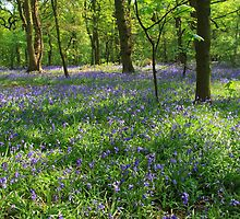 Woodland Bluebells by Paul Bettison