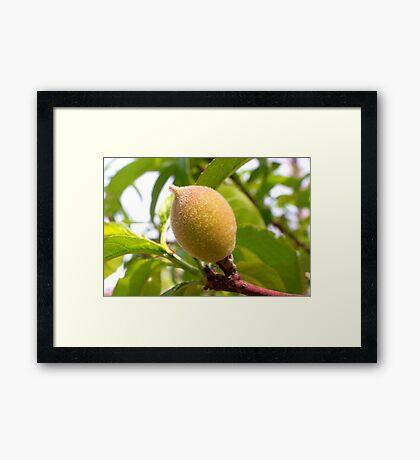 Young Georgia Peach Framed Print