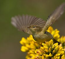 Male Chiffchaff by Neil Bygrave (NATURELENS)