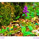 early purple orchid by Brian  Dwyer