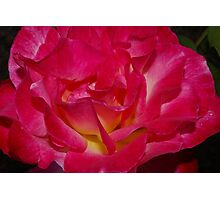 close up double delight rose Photographic Print