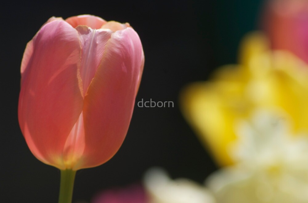 The lone tulip by dcborn