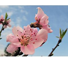 Blooming Apricot Photographic Print