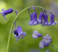 Bluebells by Mandy Disher
