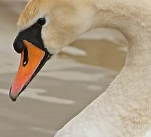 Portrait Of A Swan by Jacqueline Hill