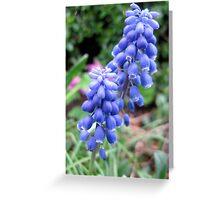 Common Grape Hyacinths  Greeting Card