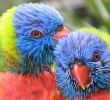 Lorikeet Love by clareville