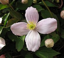 Delicate Pink Clematis Flower and Buds by BlueMoonRose