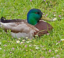 Mallard Drake in the Grass by Randall Ingalls
