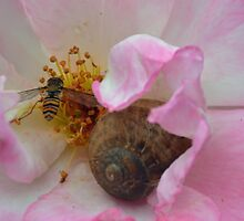 The Snail and the Hover-fly in the safety of a Rose  by lynn carter