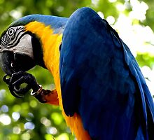 The Blue and Gold Macaw by Paige