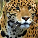 Jaguar Wild Cat  by NaturePrints