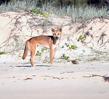 """Watchful Eyes"" - Australian Dingo by Karen Willshaw"
