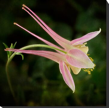 Graceful columbine by Celeste Mookherjee