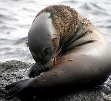 Galapagos Sea Lion by Amanda Ziegelbauer