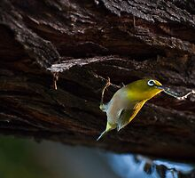 Japanese White-eye by Jason Hedlund