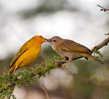 Saffron Finches - Feeding by Jason Hedlund