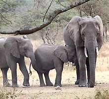 African Elephants, Serengeti National Park, Tanzania.  by Carole-Anne