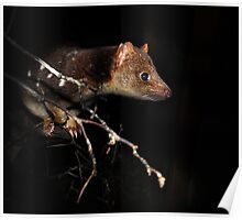 Quoll Poster