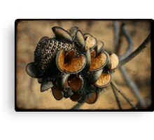Banksia seed pods Canvas Print