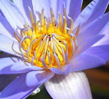 Waterlily II by loiteke