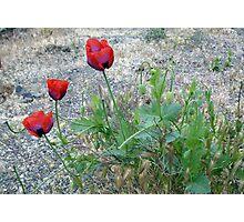 April Poppies - Teide, Tenerife Photographic Print