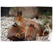 Squirrel mom and three babies Poster