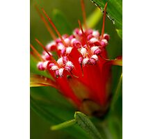 Mountain Devil (lambertia formosa) Photographic Print