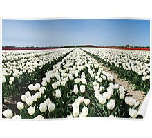 Tulips, as far as you can see..... Poster