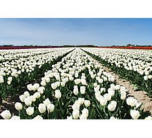 Tulips, as far as you can see..... Photographic Print