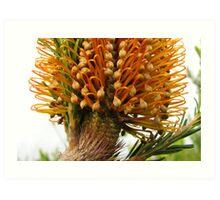 Banksia Glory Art Print