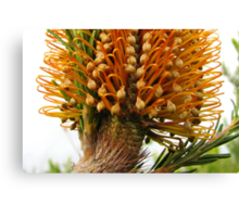 Banksia Glory Canvas Print