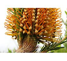 Banksia Glory Photographic Print
