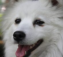 American Eskimo Dog  by Abigail Jennings