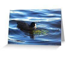 Common Coot Greeting Card