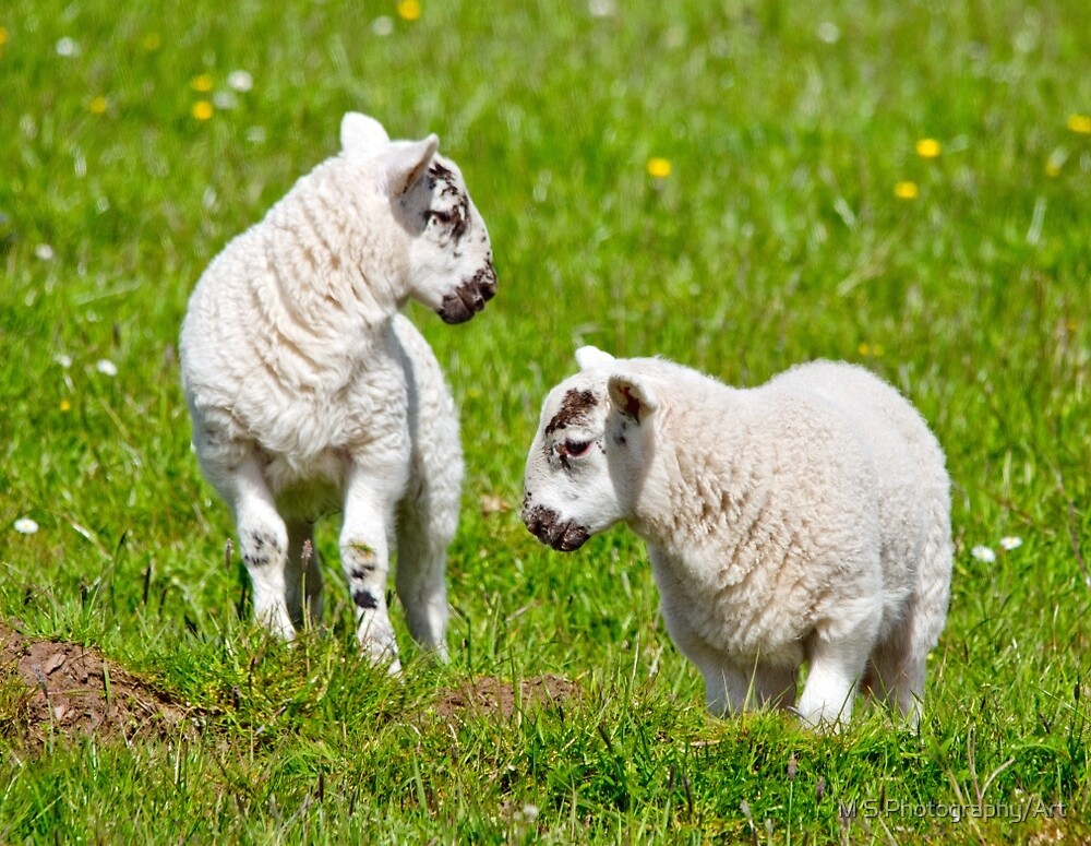 Spring Lambs by M.S. Photography/Art