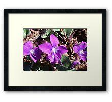 Wild Violets Framed Print