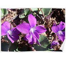 Wild Violets Poster
