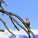 Northern Flicker at Lee Metcalf Wildlife Refuge by amontanaview