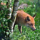 the steady gaze of a hungry fox by Steve