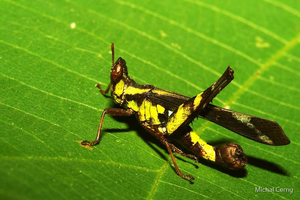 Rainforest katydid, Thailand by Michal Cerny