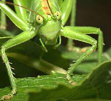 Great Green Bush-Cricket, Tettigonia viridissima by Michal Cerny