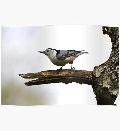 White-Breasted Nuthatch. Poster