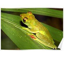 Malayan Flying Frog, Rhacophorus prominanus, Thailand Poster