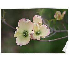 Dogwood springing Poster